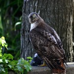 Hawk with pigeon in talons