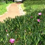 Flowering ice plant